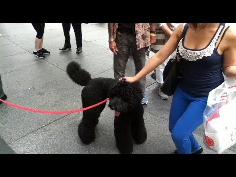 Massive Standard Poodle Meeting Small Dogs In NYC