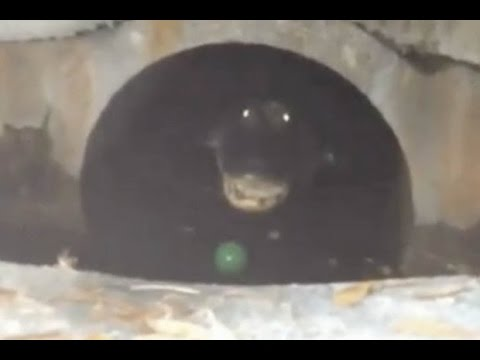 Man discovers Huge Alligator Hiding In Sewer Outside His Home