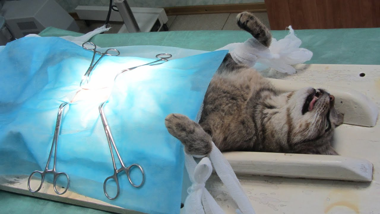 How cats are sterilized 10