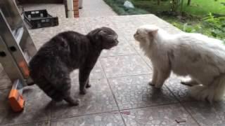 Наш малыш (белый котик) весьма усердно орет на соседского кота