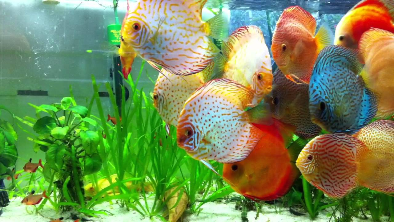 3d Wallpaper In Bangalore Planted Discus Tank Youtube