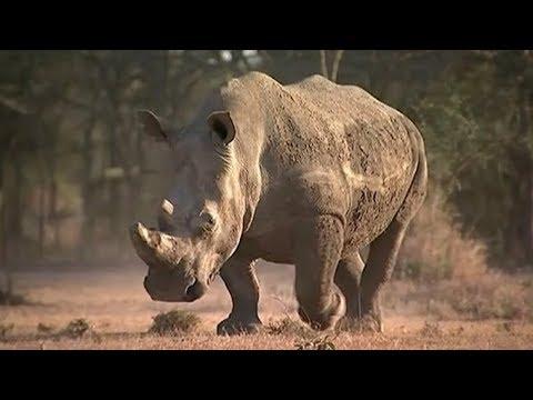 Sudan, the world's last male northern white rhino, dies in Kenya | ITV News