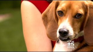 California Beagle Owners Push For Stricter Rules On Animal Testing