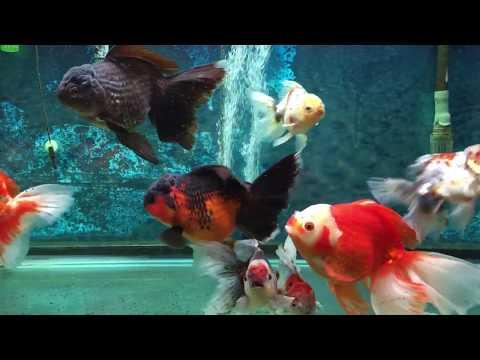 My Lovely Goldfish Aquarium In Vancouver CANADA !