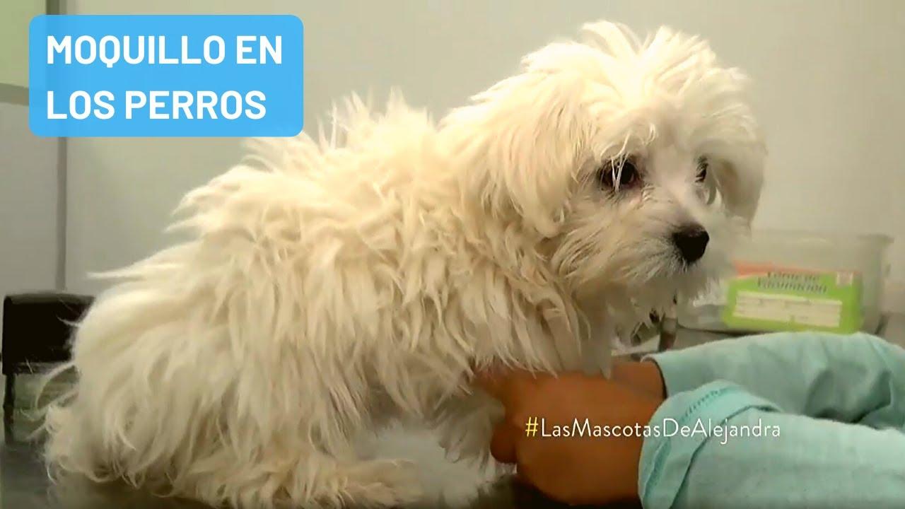 """Moquillo (Distemper Canino) el """"Coco"""" de los dueños de Mascotas"""