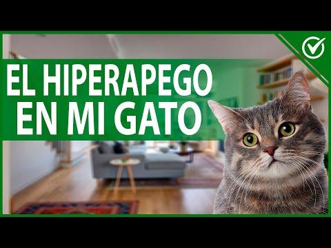 Cómo Reconocer y Evitar el Hiperapego en mi Gato 🐱 si está Obsesionado Conmigo 🐱