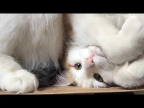 Norvég Erdei Macska | Norwegian Forest Cat: Natsume ≧^◡^≦