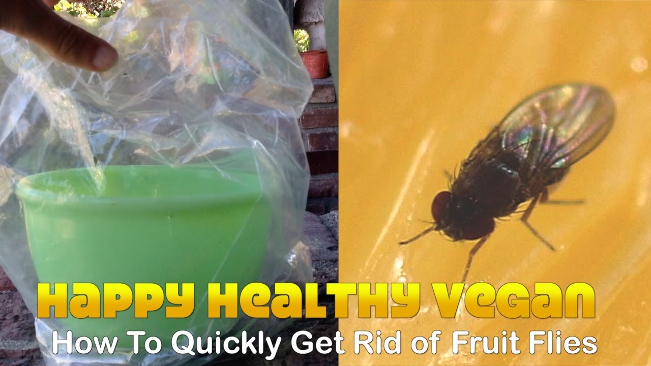 How To Quickly Get Rid of Fruit Flies (No Kill) - YouTube