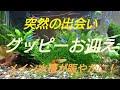 【アクアリウム】グッピーお迎え! の動画、YouTube動画。