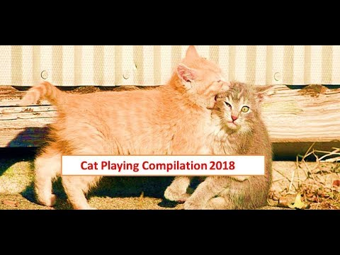 Try Not to Laugh | Angry Cats Fighting  | During c cat fighting each other | Cats and Kittens