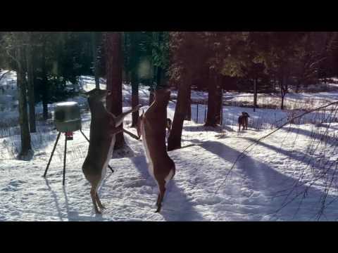 Female Whitetail Deer Battle