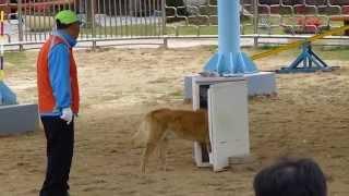 Jindo Dog Show - South Korea