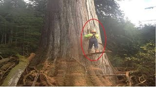 Dangerous Cutting Down Biggest Tree Chainsaw Machine Extreme Skill Fastest Tree Felling Compilation