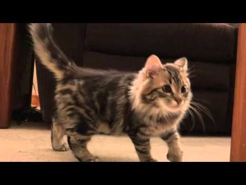 Sitka playing on tree with brother | Maine Coon Kitten