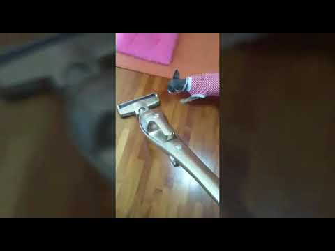 犬♡チワワ♡ももちゃん⑦(掃除機大嫌い!)