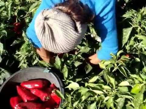 Урожай перца