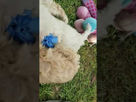 Bichoodle and cavoodle pups (minis)