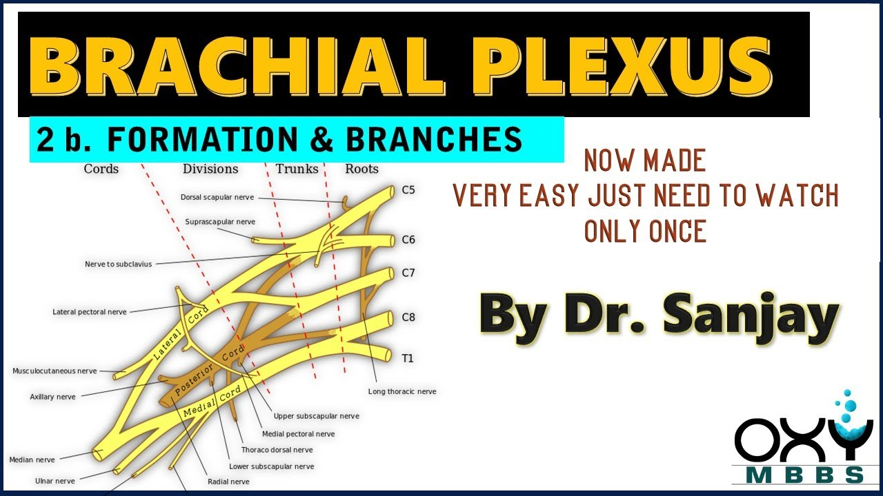 BRACHIAL PLEXUS now made very easy ! 2b. Formation & Branches    For ...