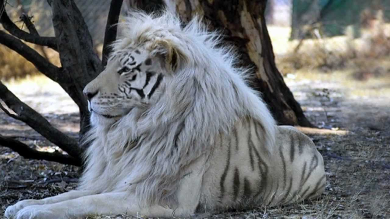Angry Lion Wallpaper Hd 1080p White Lion Tiger Youtube
