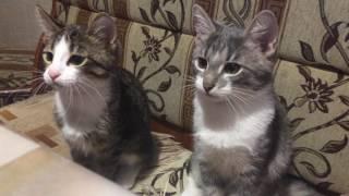 Самое смешное видео. Смешное видео про котов.Кеша и Валера зевают