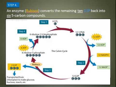 Calvin Cycle Explained Youtube