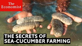 How sea cucumbers can help the ocean  | The Economist