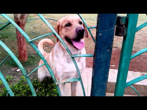 Labrador Barking On Stray Dog