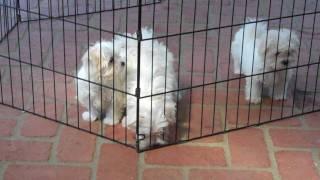 Maltese Rescue Puppies