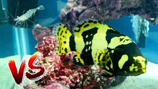 NEW HIGH-PRICED PET GROUPER VS AQUARIUM SHRIMP! *FISH BATTLE ROYALE!*