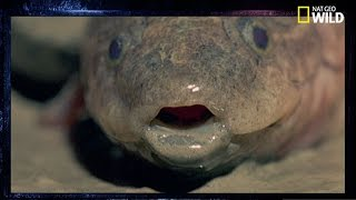 Le dipneuste, un poisson qui vit dans les murs