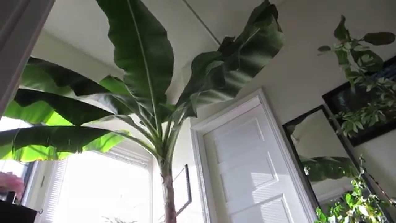 Banana Tree Pup Grown Indoors Grand Nain Variety Youtube