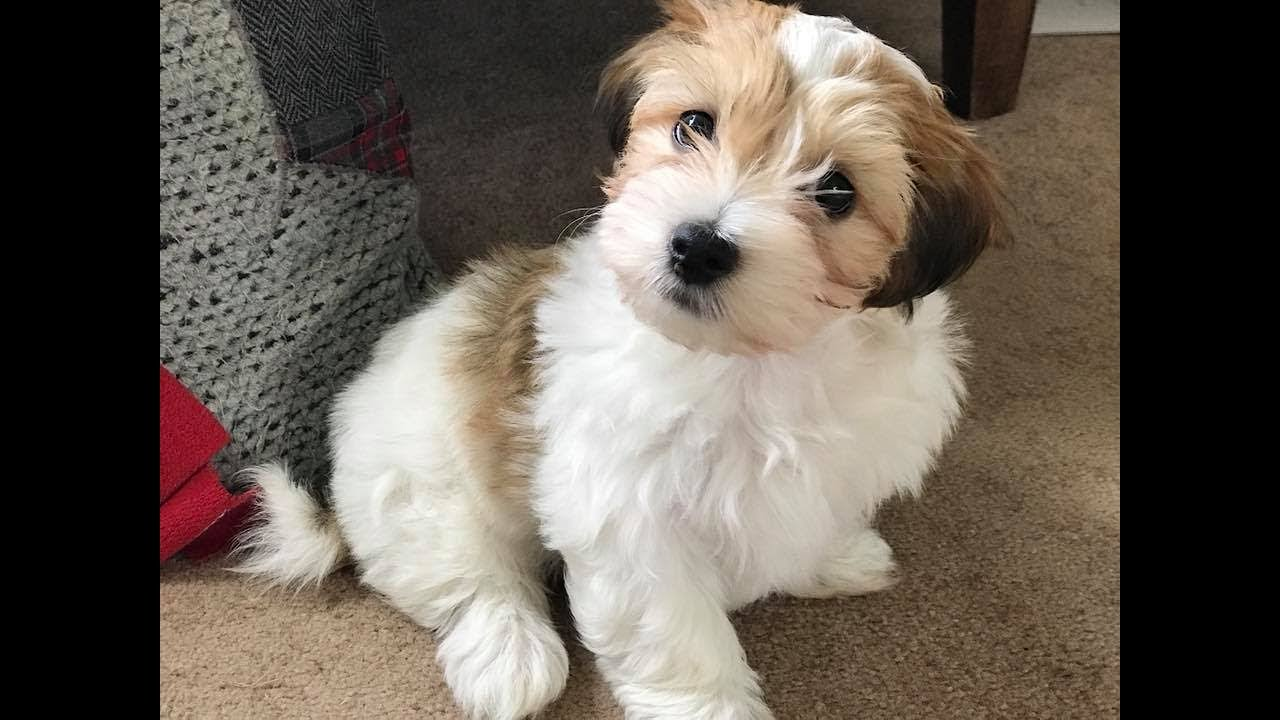 Mojito Havanese Puppy 2 Weeks