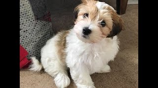 Mojito  Havanese Puppy  2 Weeks Socialisation & 4 Weeks Training