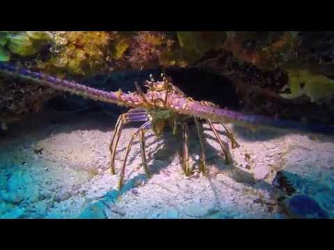 Spiny Lobster in the Florida Keys