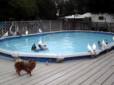 Racing Pigeons In Swimming Pool Youtube