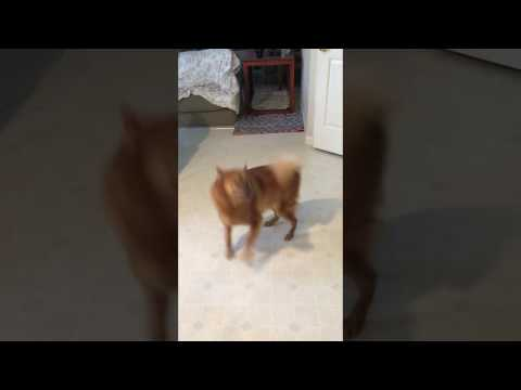 Finnish spitz's tricks - close door, play dead, back up, sit, ...