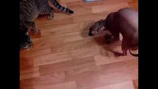 Сфинкс vs. дворовый кот