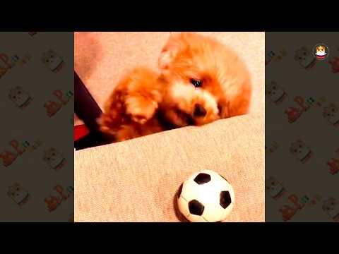 Funny Poodle Compilation 2017 # 1