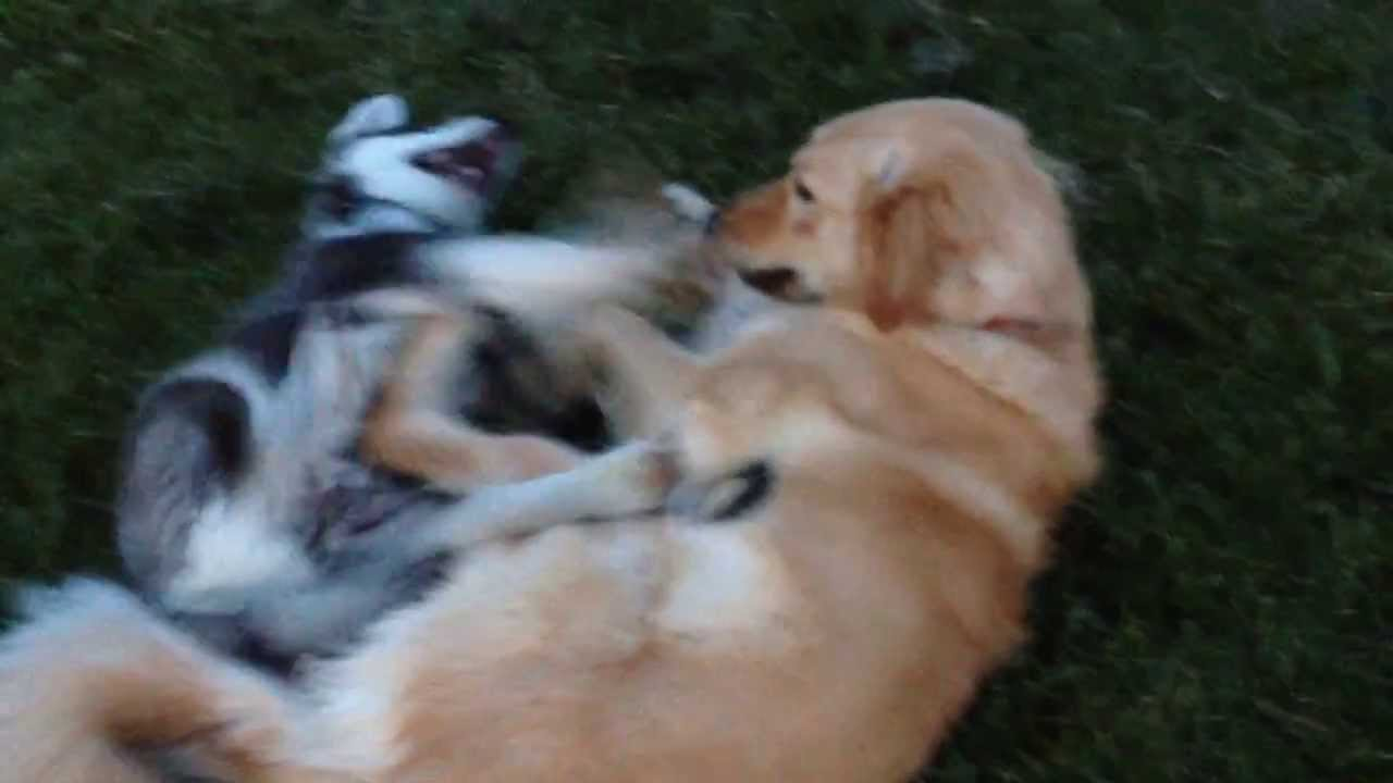 Puppy Husky Playing Rough With Big Golden Retriever Youtube