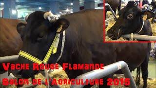 Vache Rouge flamande - Bos taurus - Linnaeus, 1758 - Salon de l'Agriculture 2015 - 03/2015