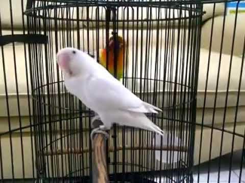 Suara pancingan Love bird ngekek