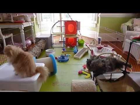 6 Week Old Rambunctious Chocolate Persian & Himalayan Kittens Playing in Toddler Room April 18 2014