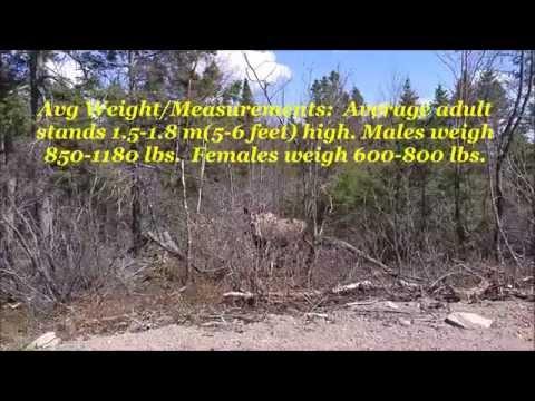 History Of The Newfoundland Moose