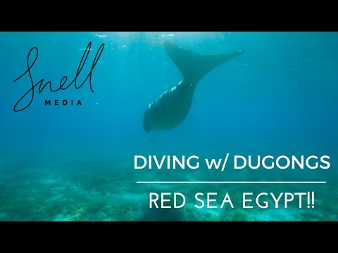 Diving with Dugongs in Marsa Alam Red Sea Egypt