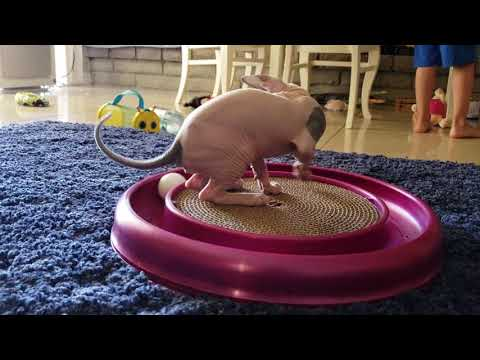 Sphynx Kitten Plays with Toy