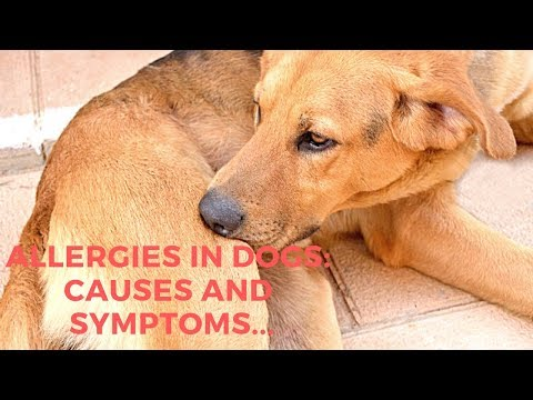 Allergies In Dogs: Causes and Symptoms