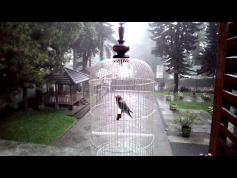 lovebird buang birahi doovi