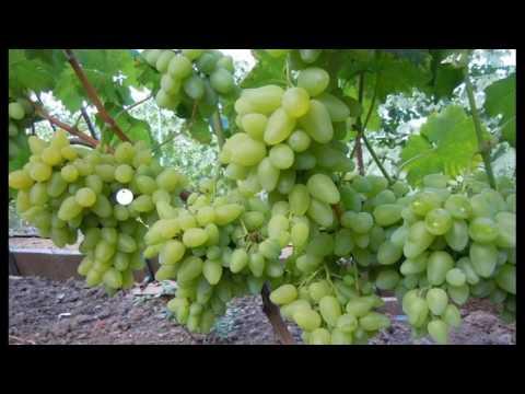Виноград Бажена-описание  # особенности сорта