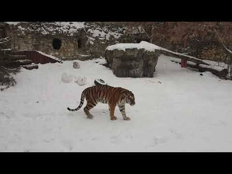 Amur tiger on snow