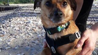 DACHSHUND CHIHUAHUA TERRIER MIX  LOVES WATER!!!